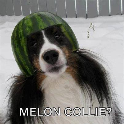 collie dog wearing a melon on its head