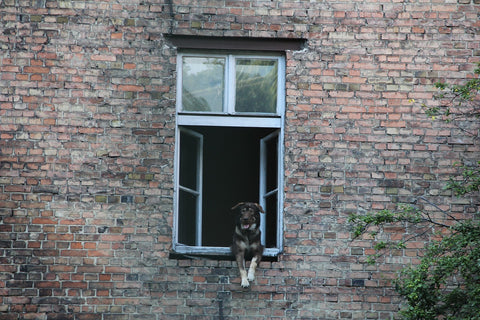 dog hanging out of a window