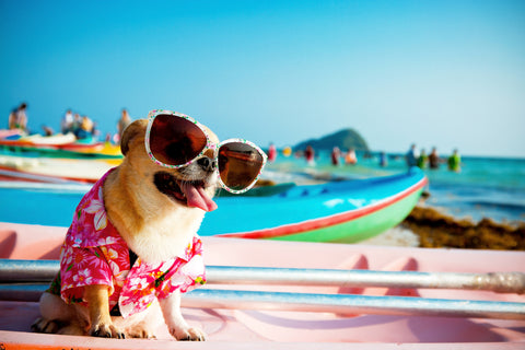 surfing dog with sunglasses