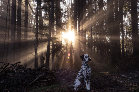 Dalmatian dog in sunset