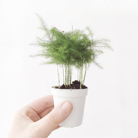 Asparagus fern for sale at the gathershop
