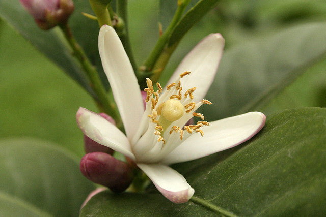 The History of Neroli Essential Oil (And Why We Love It)