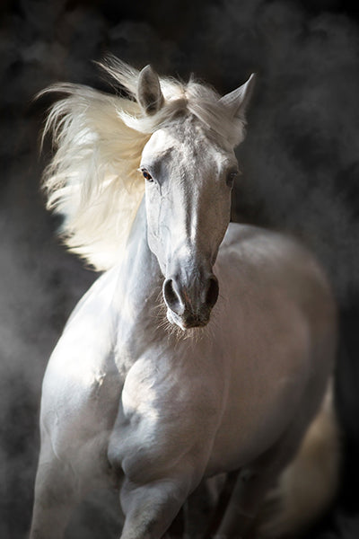 White Andalusian, Art Print