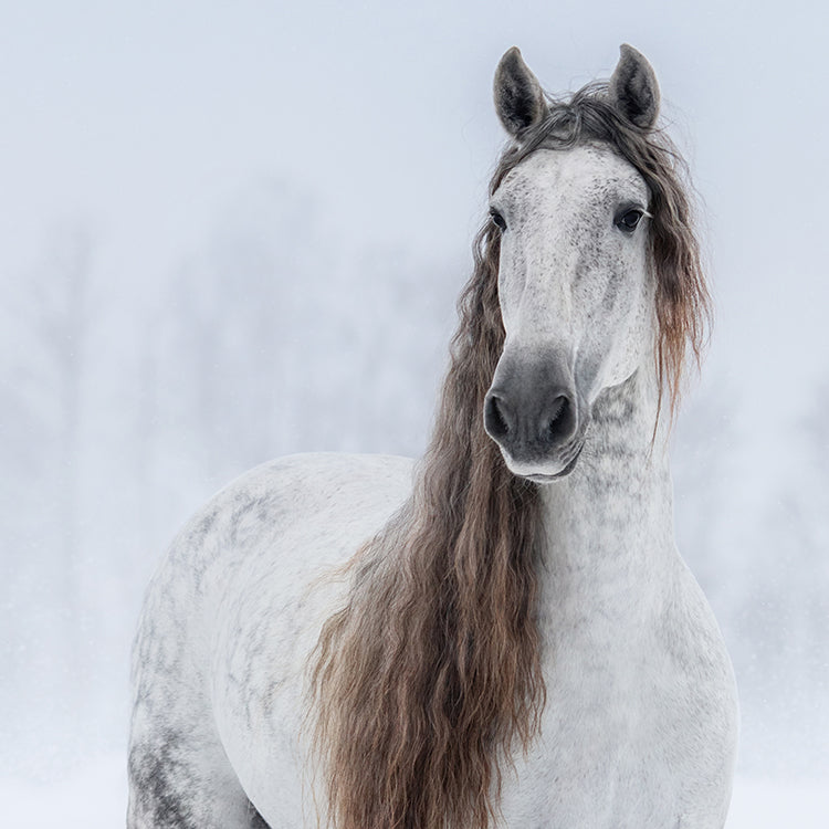 Grey Pure Spanish Horse Portrait
