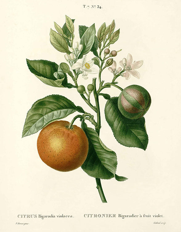 Citrus Plant Botanical
