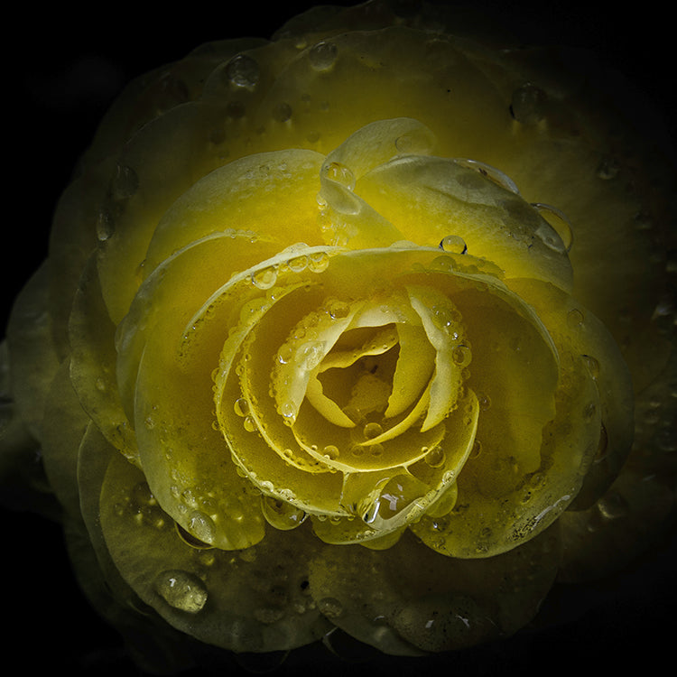 Yellow Rose with Water Droplets