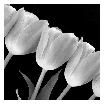 Tulip Line Posters by Anon - FairField Art Publishing