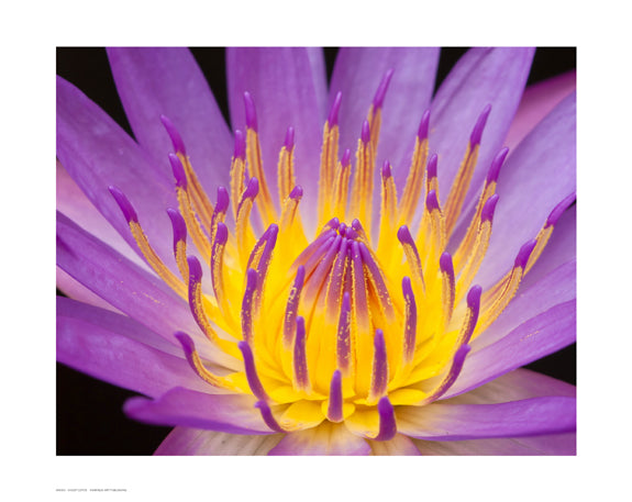 Violet Lotus Floral by Anon - FairField Art Publishing
