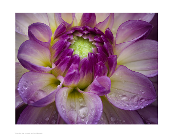Dahlia Close Up Floral by Dennis Frates - FairField Art Publishing