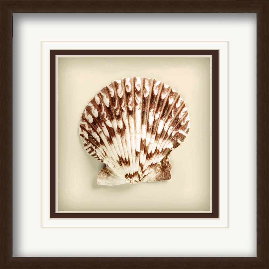 Radial Seashell -  Framed Matted Framed Matted by Anon - FairField Art Publishing