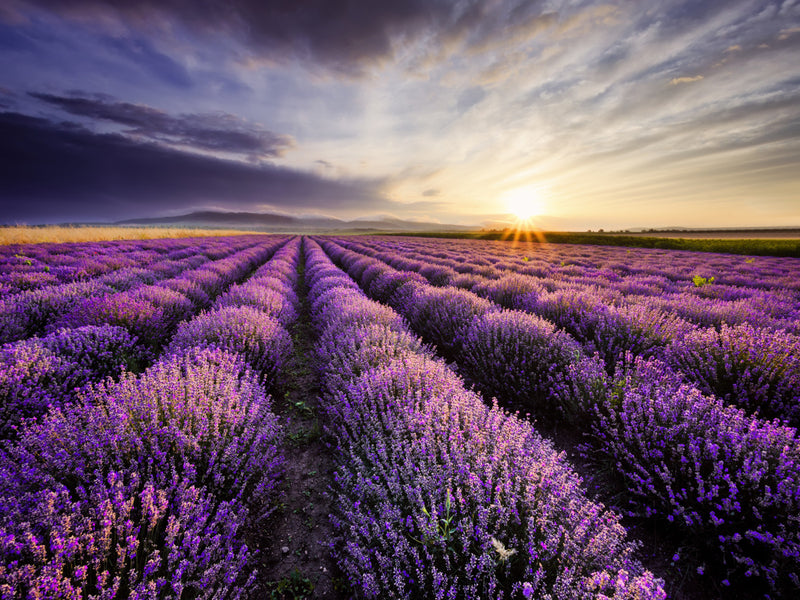 Lavender Sunrise by Anon - FairField Art Publishing