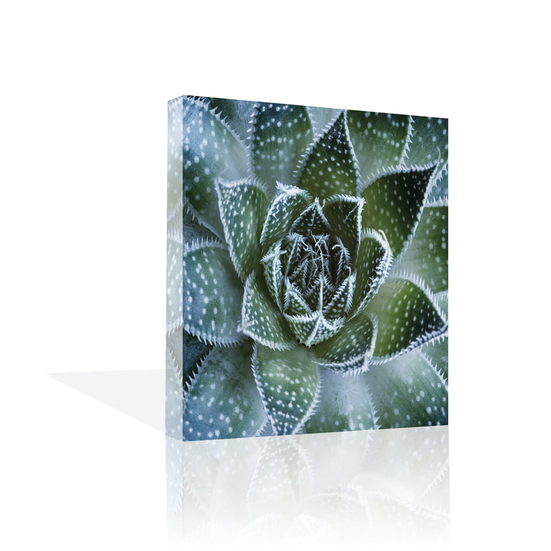 Aloe Aristata Canvas Art by PPalis - FairField Art Publishing