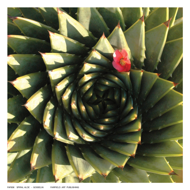 Spiral Aloe Posters by Gosselin - FairField Art Publishing