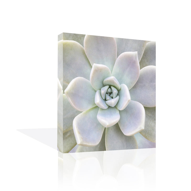 Aeonium Flower Canvas Art by Biebel - FairField Art Publishing