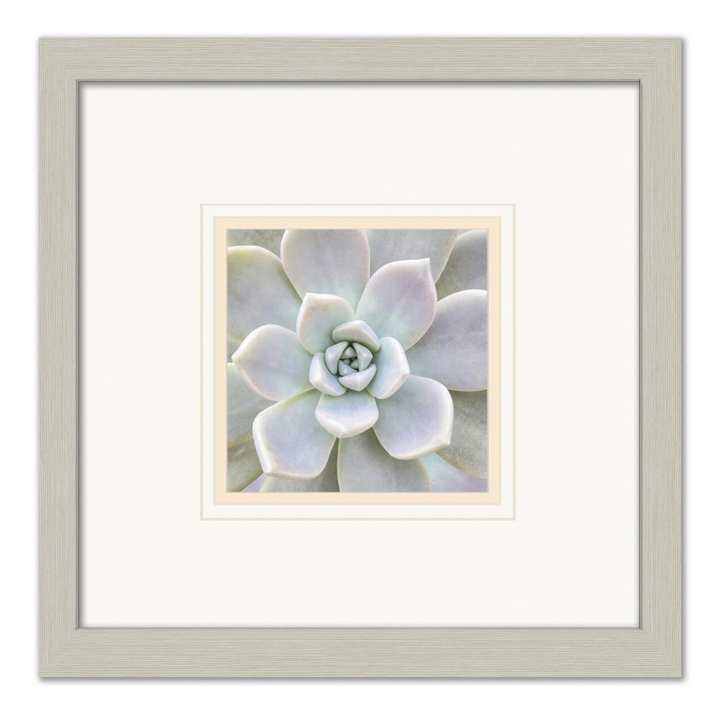 Aeonium Flower -  Framed Matted