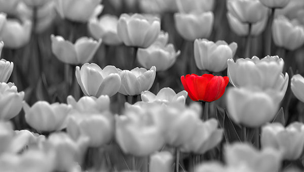Red Tulip In Black & White Field