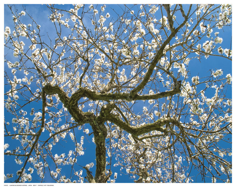 Almond Blossoms in Spring Posters by Anon - FairField Art Publishing
