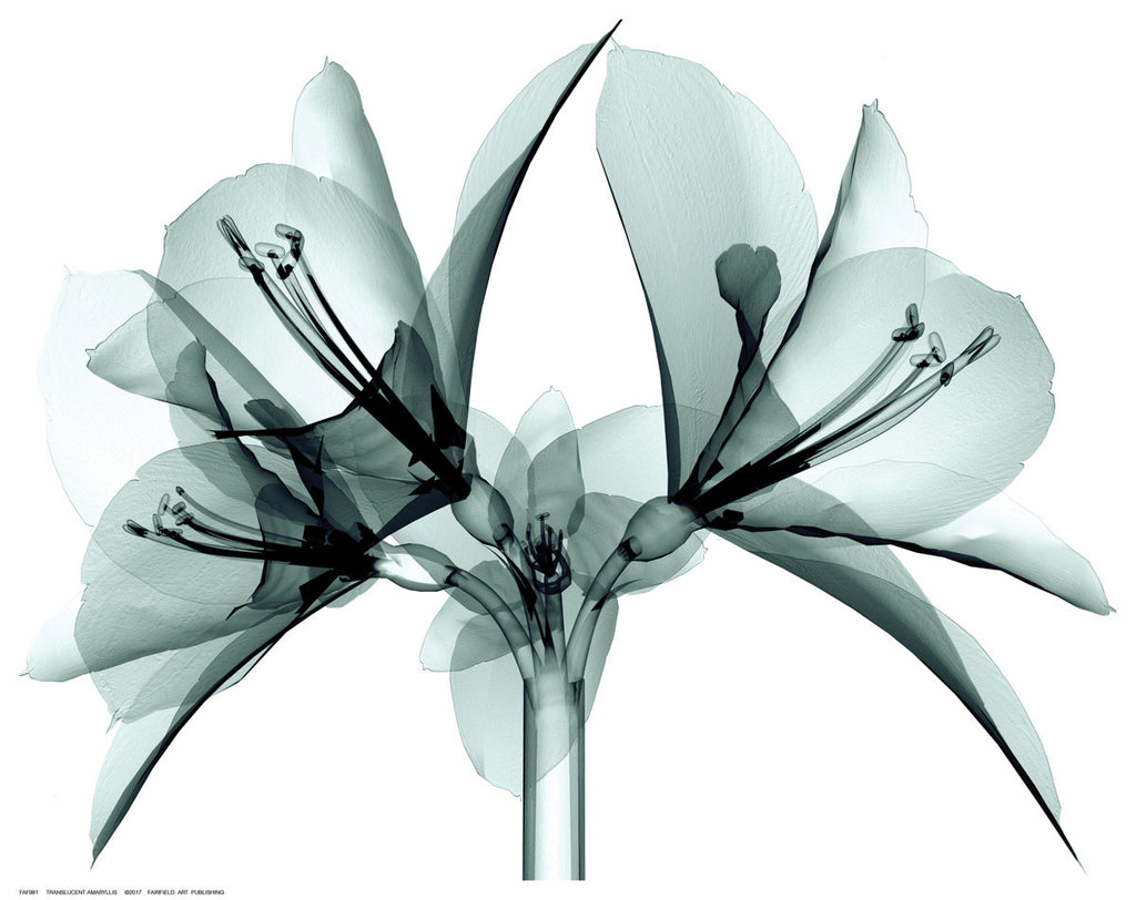 Translucent Amaryllis Posters by Anon - FairField Art Publishing