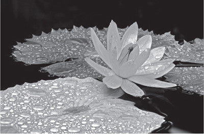 Droplets on Water Lily Floral by Dennis Frates - FairField Art Publishing