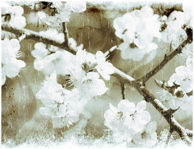 White Blossoms in Sepia Posters by Anon - FairField Art Publishing