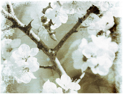 White Blossoms in Sepia II Posters by Anon - FairField Art Publishing