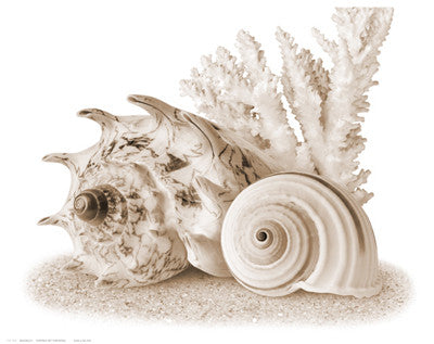 Seashells I Posters by Anon - FairField Art Publishing