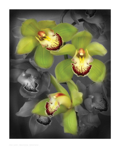 Cymbidium Orchid Green Floral by Igor Maloratsky - FairField Art Publishing