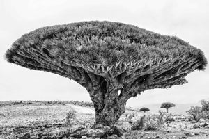 Dragons Blood Trees Scotra Iland Yemen
