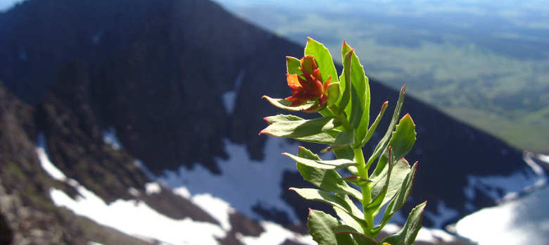 The Complete Guide To Rhodiola Rosea