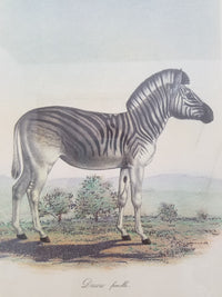 "FREDERIC CUVIER, ""DAUW FEMELLE"", ANIMALS OF AFRICA COLLECTION, c. 1890, APR $800*"