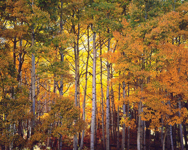 "CHRISTOPHER BURKETT, ""Forest Light, Colorado"", Cibachrome Photographic Print, c. 2006 - Value: $15K! *"