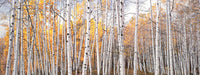 "CHRISTOPHER BURKETT, ""Golden Aspen Glade, Colorado"", Cibachrome Print, c. 2005 - $60K Value*"