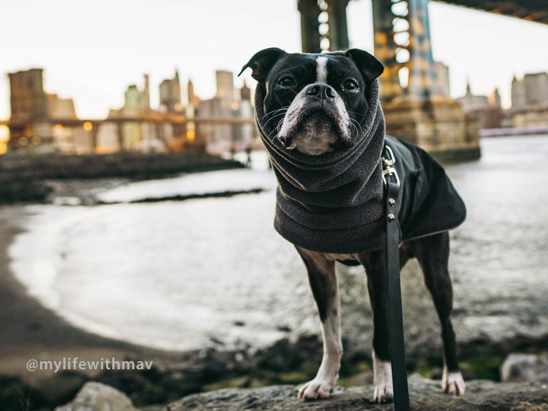 Voyagers K9 Apparel Boston Terrier Winter Coat