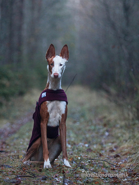 Voyagers K9 Apparel Custom Ibizan Hound Tummy Warmer