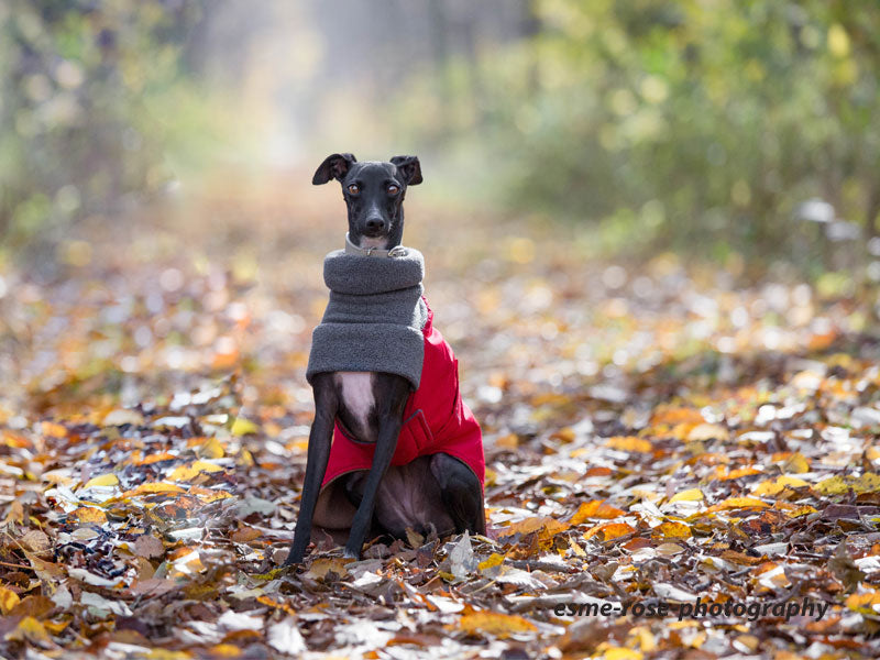 Fall is fun for this Italian Greyhnound, warm and stylish in Voyagers K9 Apparel winter coat.