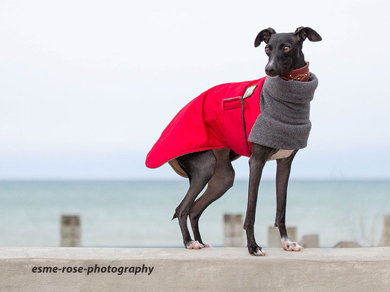 Warm winter coat covers Italian Greyhound for comfort in the cold: Voyagers K9 Apparel breed-specific dog gear.
