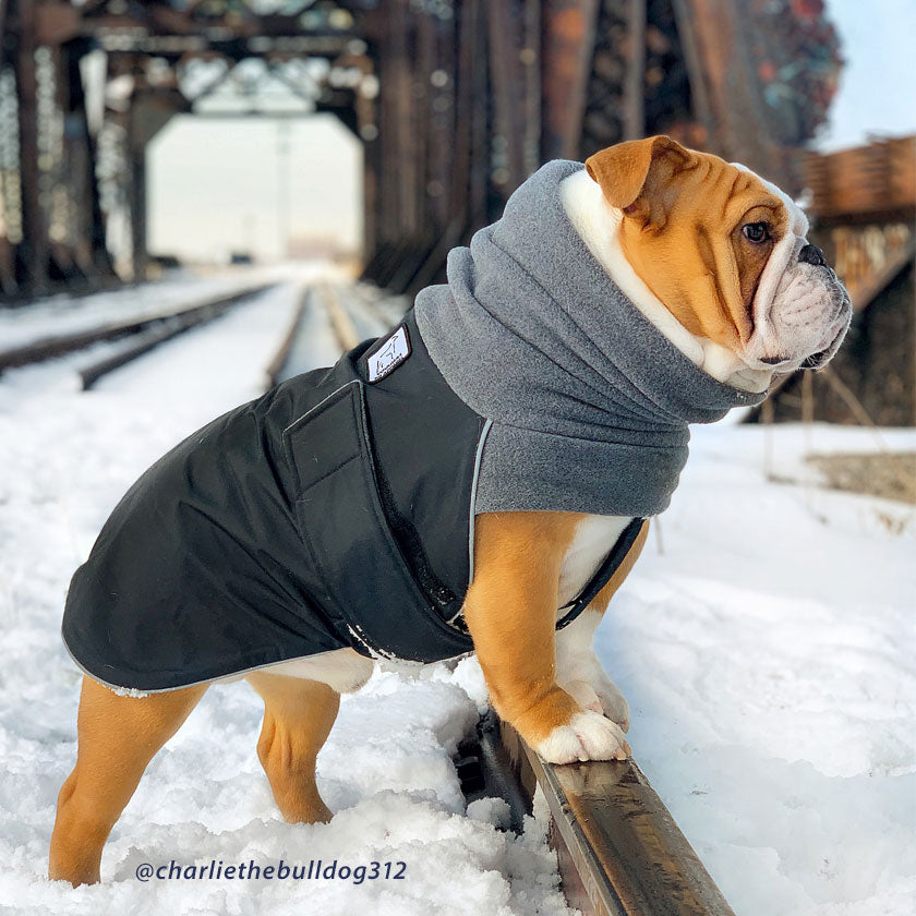 English Bulldog wearing Voyagers Winter Coat