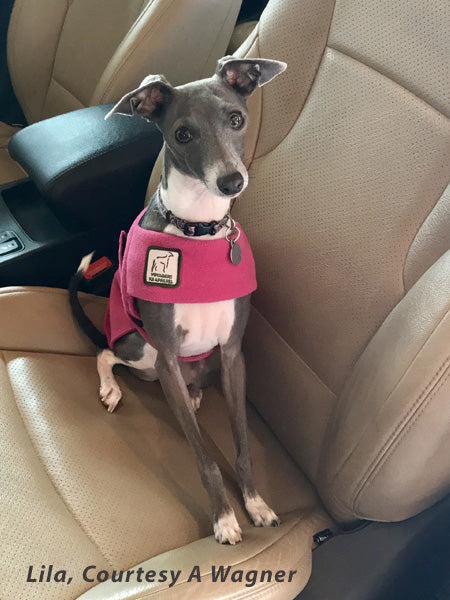 Voyagers K9 Apparel Italian Greyhound Pup Tummy Warmer