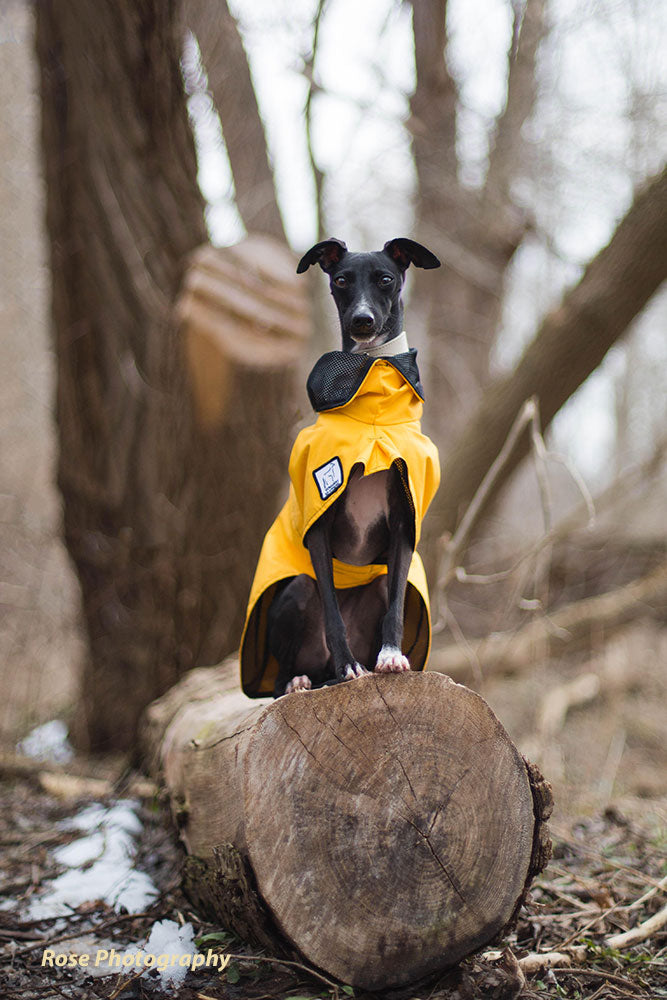 Voyagers K9 Apparel Italian Greyhound rain coat: made for rainy day walks.