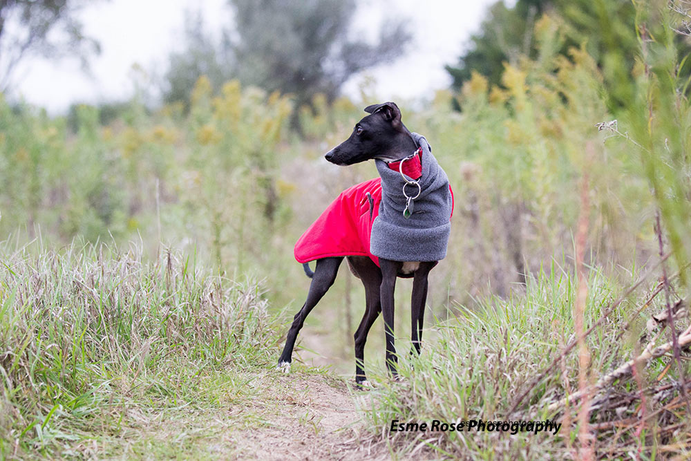 Voyagers K9 Apparel's Italian Greyhound Winter Coat is made to fit the breed and any season.