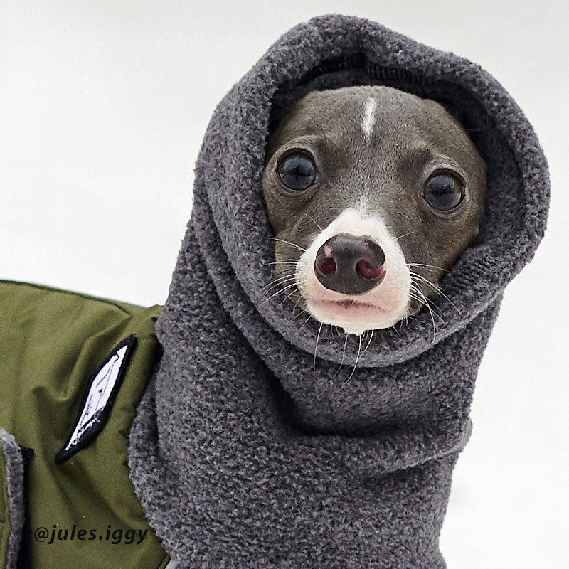 Italian Greyhound is oh so comfortable in Voyagers K9 Apparel breed-specific winter coat with warm, adjustable hood