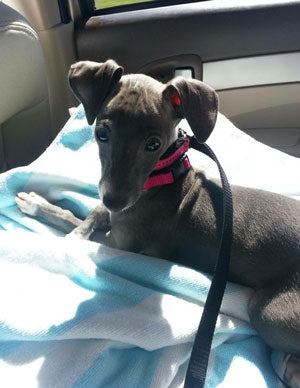 Italian Greyhound Pup