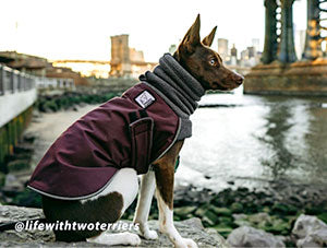 Voyagers K9 Apparel Rat Terrier Winter Coat