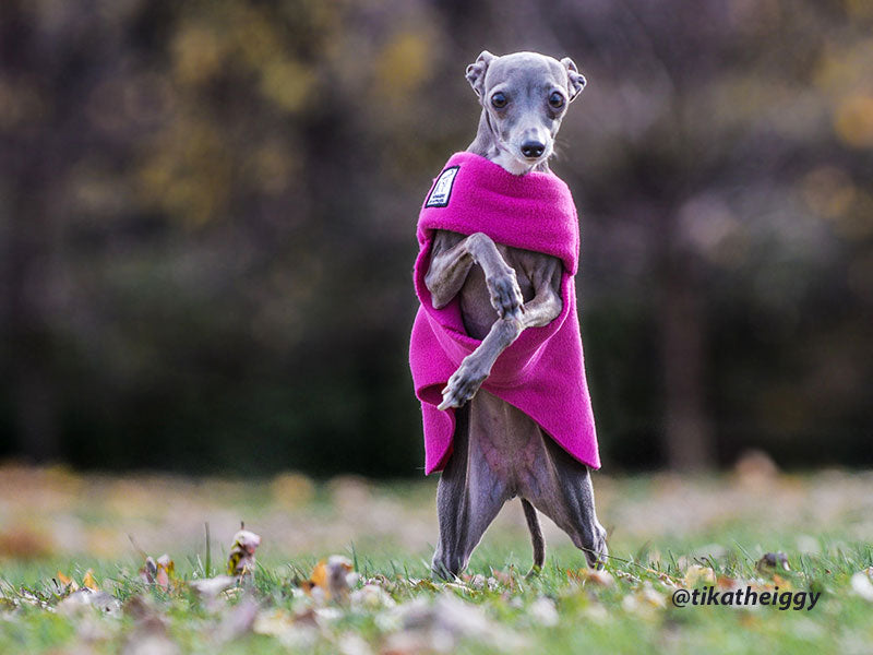 Ooooh, such comfort: Voygers K9 Apparel breed-specific Tummy Warmer for Italian Greyhounds.