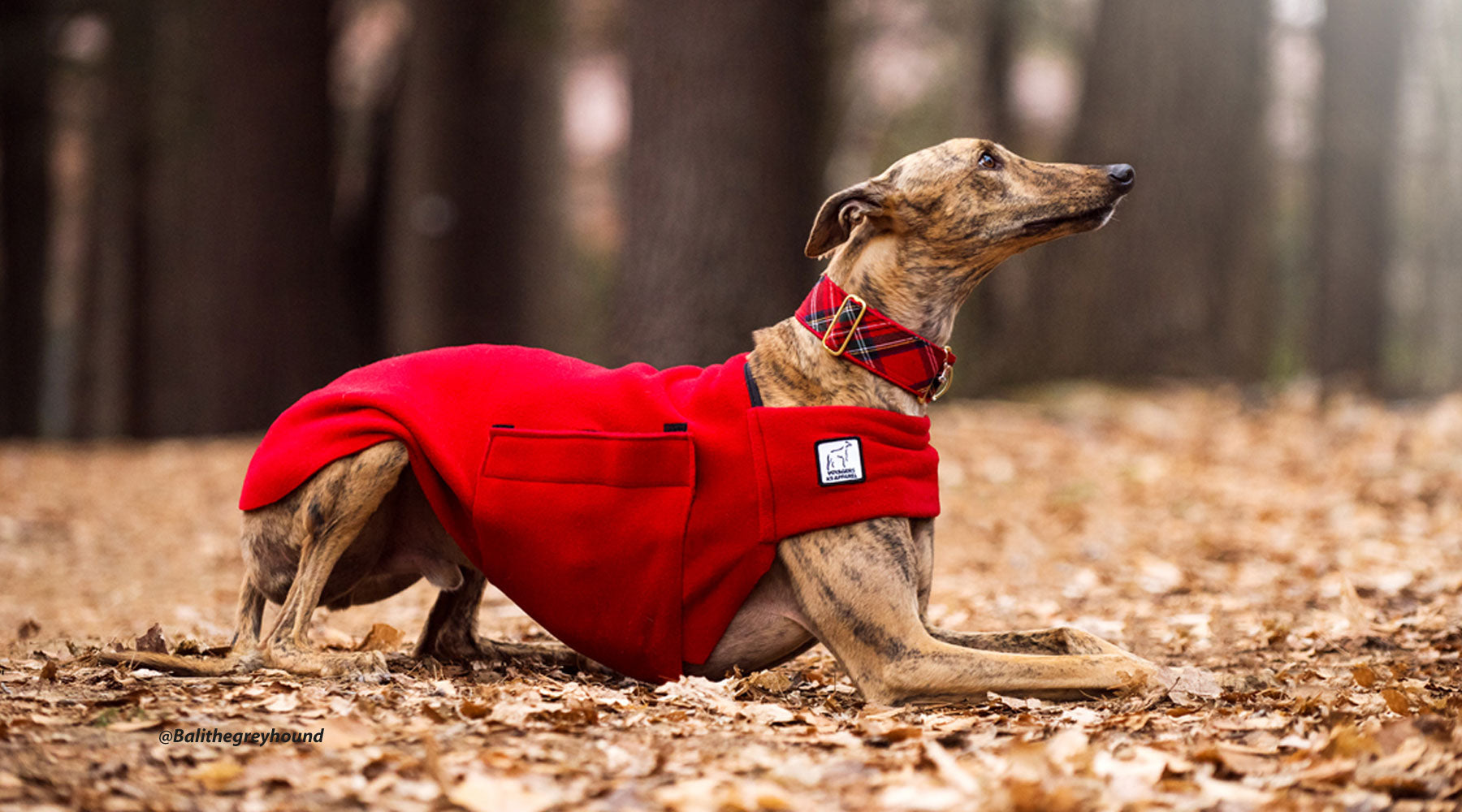 Bali the Greyhound is warm and ready for action in this Voyagers K9 Apparel snug-fitting tummy warmer. (@balithegreyhound)