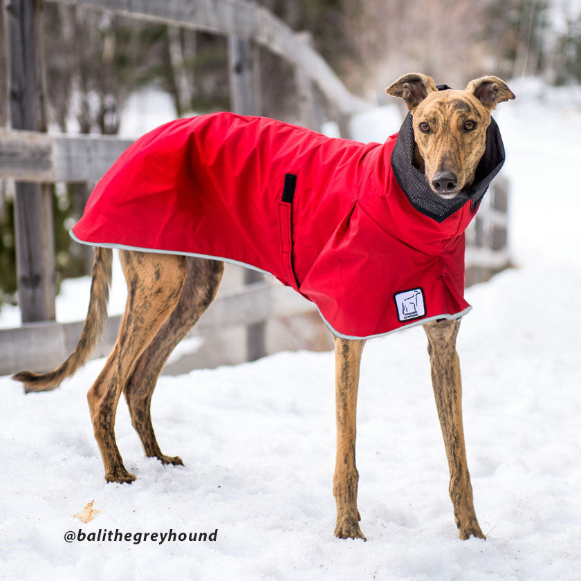 Voyagers K9 Apparel raincoat with reflective edging for safety keeps Bali the Greyhound comfortable in wet weather. (@Balithegreyhound)
