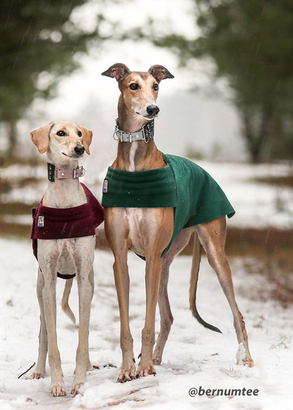 Greyhound and pal enjoy warmth and comfort: in snug-fitting tummy warmer from  Voyagers K9 Apparel.