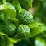 Amoretti Kaffir Lime Oil Extract O.S.