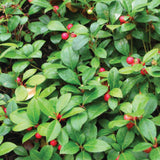 Amoretti Wintergreen Extract O.S