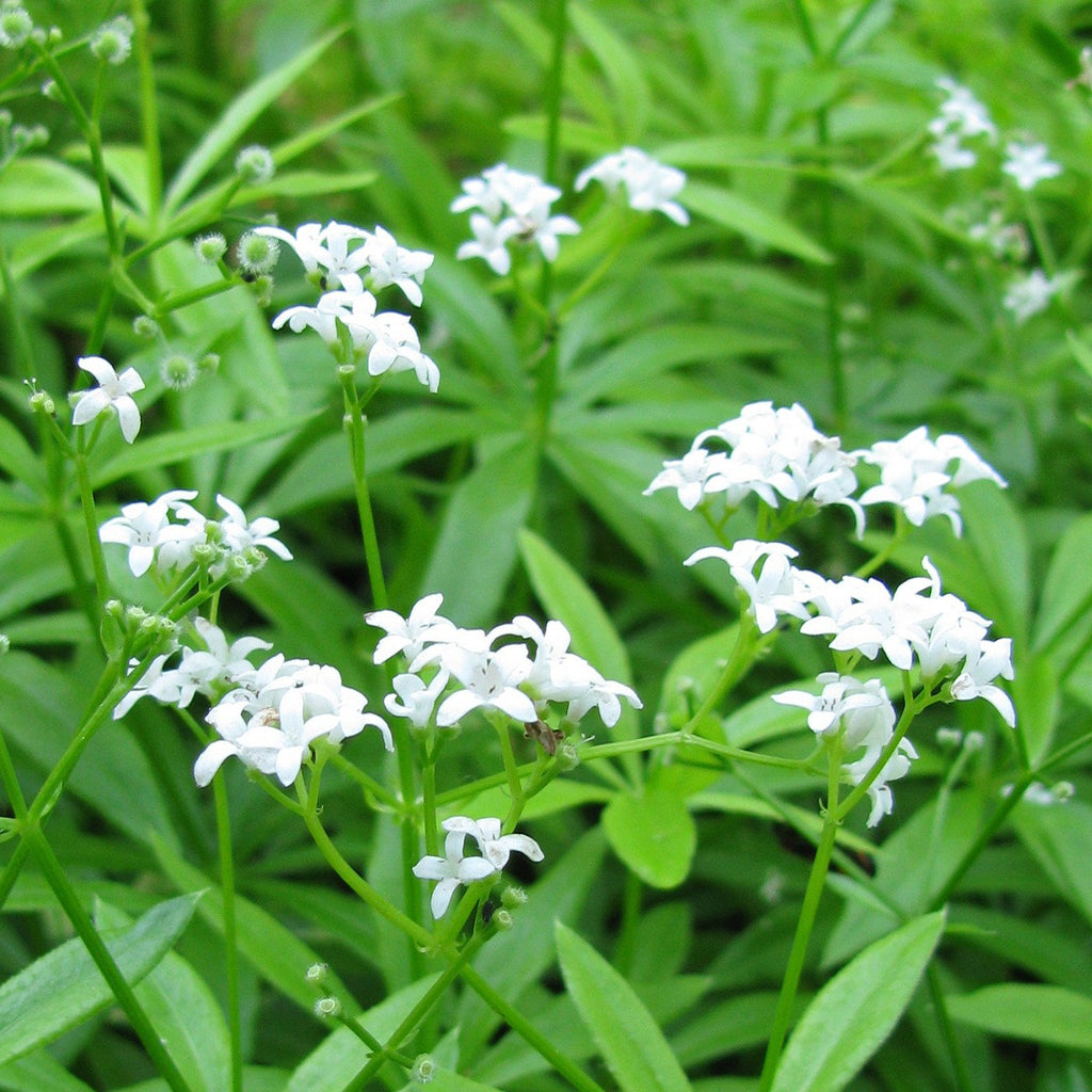 Amoretti Natural Sweet Woodruff Type Extract W.S.